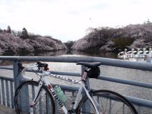 hamukenのブログ-井の頭公園の桜2