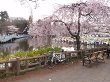 hamukenのブログ-井の頭公園の桜1
