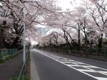 $hamukenのブログ-青山墓地の桜