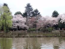 hamukenのブログ-善福寺の桜1