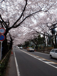 $hamukenのブログ-武蔵野市役所前の桜2